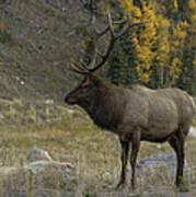 Bull Elk In Hidden Valley Poster by Tom Wilbert