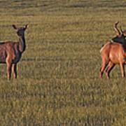 Bull Elk In Velvet With Cow   #5304 Poster