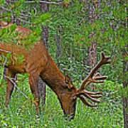 Bull Elk Near Maligne Canyon In Jasper Np-alberta Poster