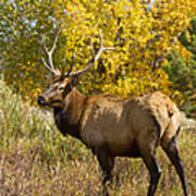 Bull Elk With Autumn Colors Poster
