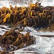 Bull Kelp Durvillaea Antarctica Blades In Surf Poster