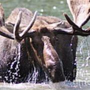 Bull Moose Feeding Poster