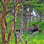 Bull Moose In Cape Breton Highlands Np-ns Poster