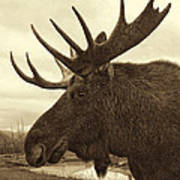 Bull Moose In Sepia Poster