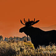 Bull Moose Sunset Poster