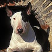 Bull Terrier Dog Poster