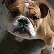 Bulldog Portrait Poster