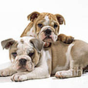 Bulldog Puppies, One On Top Of The Other Poster