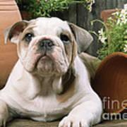 Bulldog Puppy With Flowerpots Poster