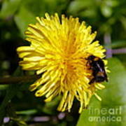 Bumble Bee And Dandelion Poster