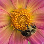 Bumble Bee Dahlia Poster