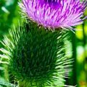Bumble Bee On Bull Thistle Plant  Poster