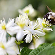 Bumble Bee On Clematis Poster