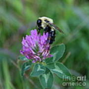 Bumble Bee On Red Clover  Poster