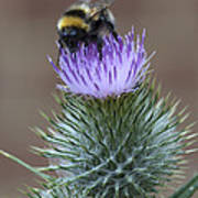 Bumble Thistle Poster