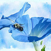 Bumblebee And Blue Morning Glory Poster