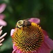 bumblebee and Echinacea Poster
