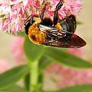 Bumblebee Clinging To Sedum Poster