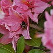 Bumblebee In Pink Poster