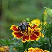 Bumblebee On Marigold Poster