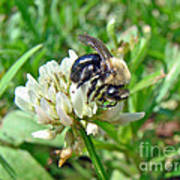 Bumblebee On White Clover Poster