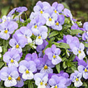 Bunch Of Pansy Flowers Poster