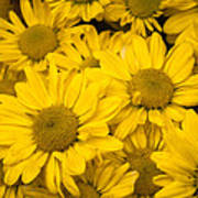 Bunch Of Yellow Daisies Poster