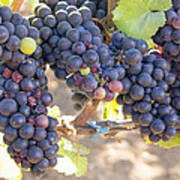 Bunches Of Red Wine Grapes Poster