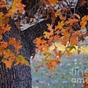 Bur Oak Tree In Autumn Poster