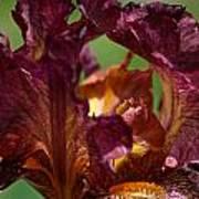 Burgundy Blossom Poster