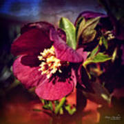 Burgundy Hellebore Flower Poster
