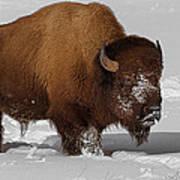 Burly Bison Poster