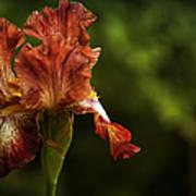 Burnt Orange Iris Poster