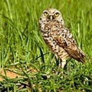 Burrowing Owl At It's Burrow Poster