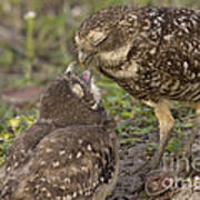 Burrowing Owl Feeding It's Chick Photo Poster