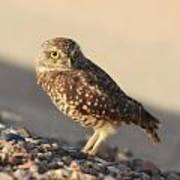 Burrowing Owl II Poster