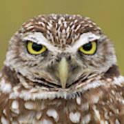 Burrowing Owl, Kaninchenkauz Poster