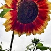 Burst Of Sunflower Poster
