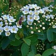 Bush Blossums With Bee Poster