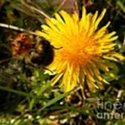 Bussy Bee And Dandelion Poster