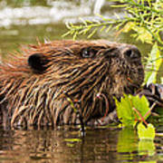 Busy As A Beaver Poster