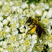 Busy Bee On A Rowan Flowers - Featured 3 Poster