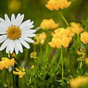 Buttercup Daisy Poster