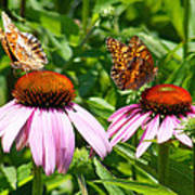 Butterflies On Echinacea Flowers Poster