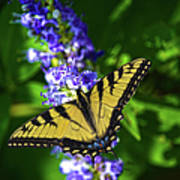 Butterflly Bush And The Swallowtail Poster