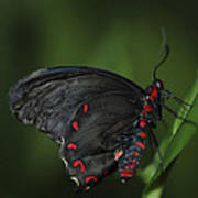 Butterfly 028 Poster