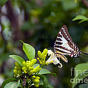Butterfly And A White Flower Poster