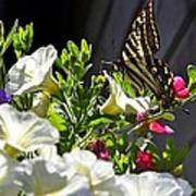 Swallowtail Butterfly On White Petunia Flower Poster