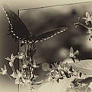 Butterfly Black 06 In Heirloom Finish Poster