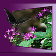 Butterfly Black 16 By 20 Poster